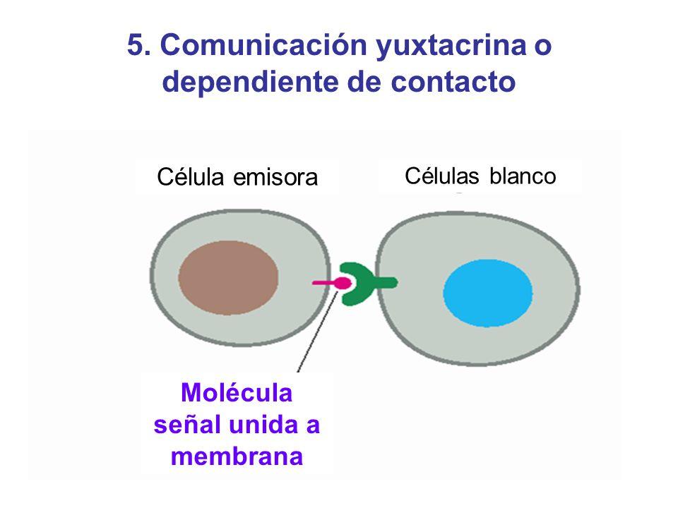 5. Comunicación yuxtacrina o dependiente de contacto