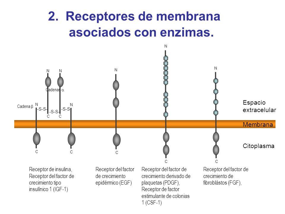 2. Receptores de membrana asociados con enzimas.