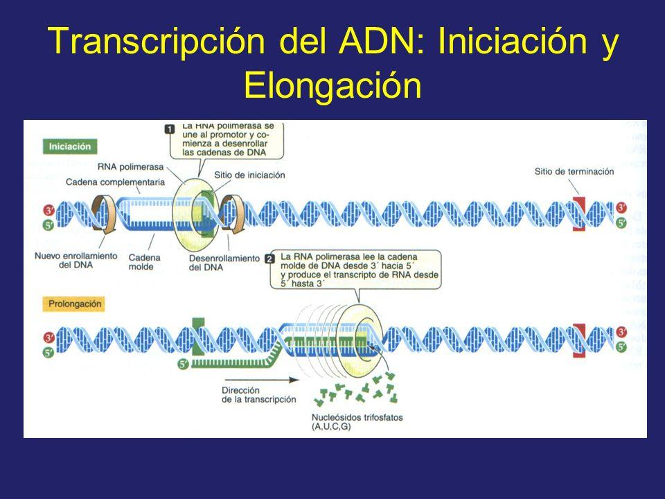 Transcripción del ADN: Iniciación y Elongación