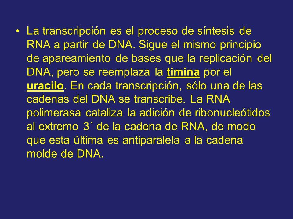 La transcripción es el proceso de síntesis de RNA a partir de DNA