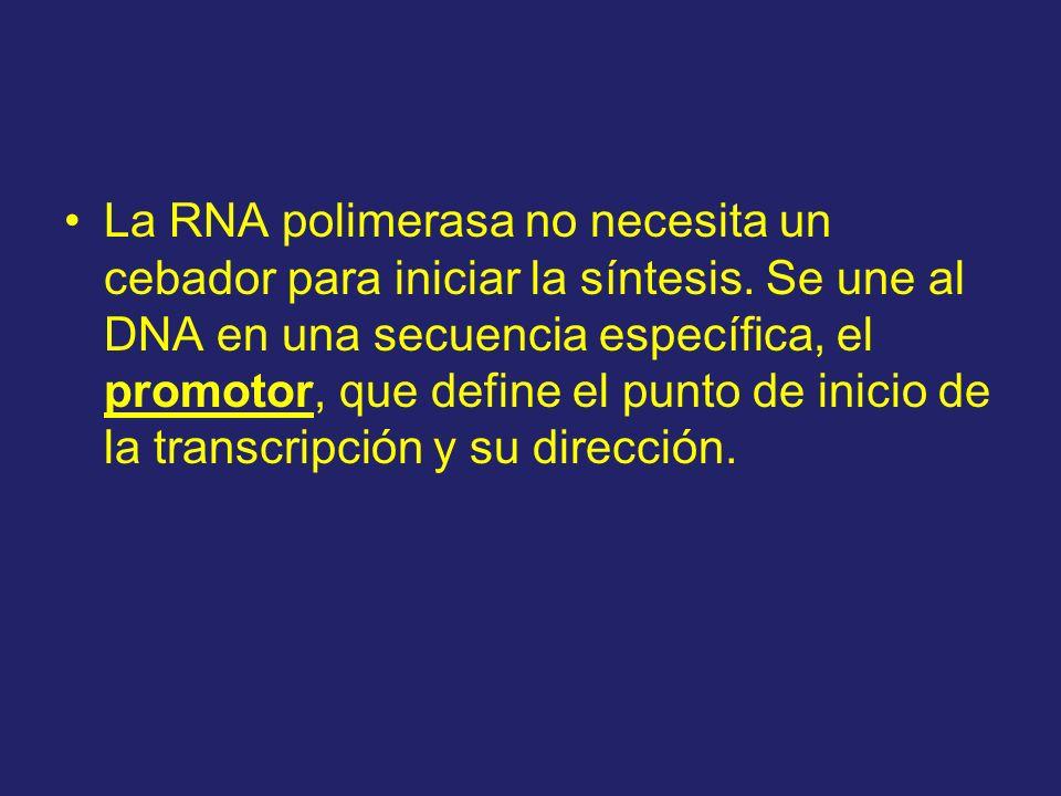 La RNA polimerasa no necesita un cebador para iniciar la síntesis