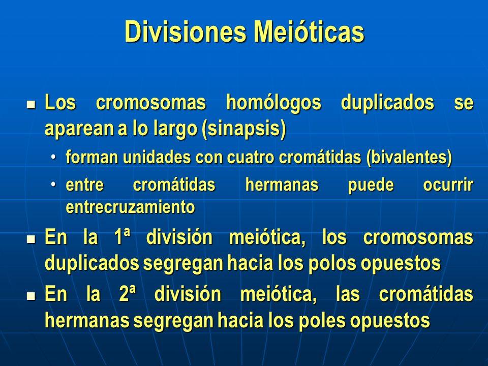 Divisiones Meióticas Los cromosomas homólogos duplicados se aparean a lo largo (sinapsis) forman unidades con cuatro cromátidas (bivalentes)