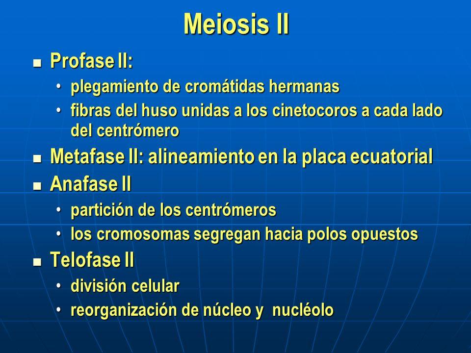 Meiosis II Profase II: plegamiento de cromátidas hermanas. fibras del huso unidas a los cinetocoros a cada lado del centrómero.