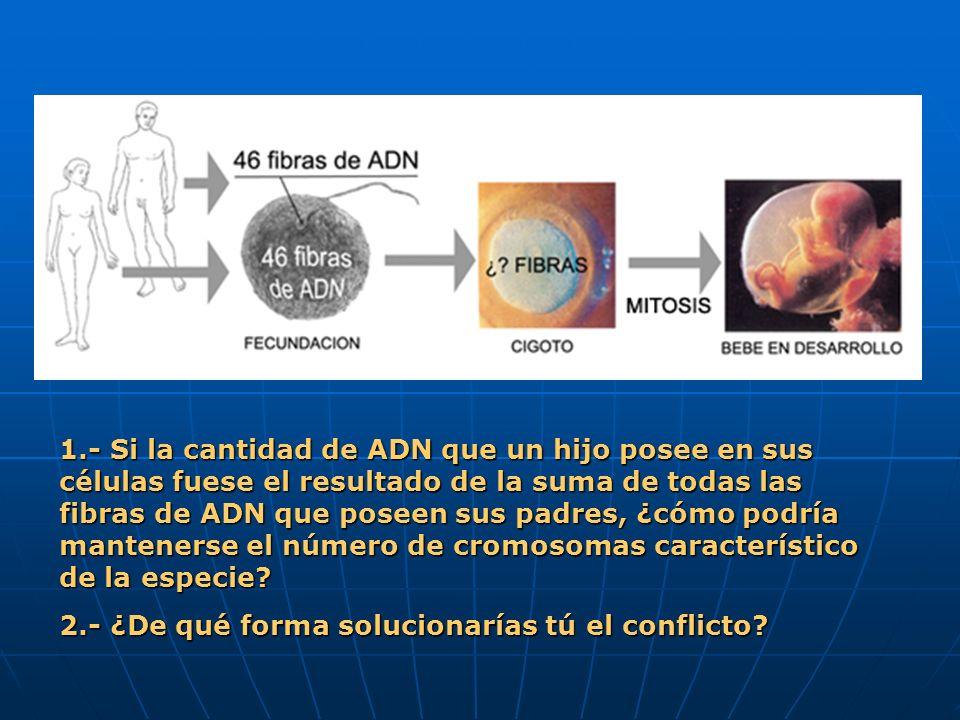 1.- Si la cantidad de ADN que un hijo posee en sus células fuese el resultado de la suma de todas las fibras de ADN que poseen sus padres, ¿cómo podría mantenerse el número de cromosomas característico de la especie