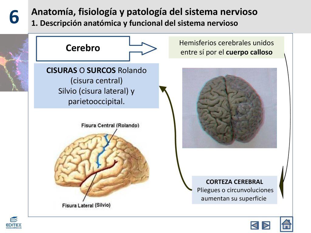 Anatomía, fisiología y patología del sistema nervioso - ppt descargar