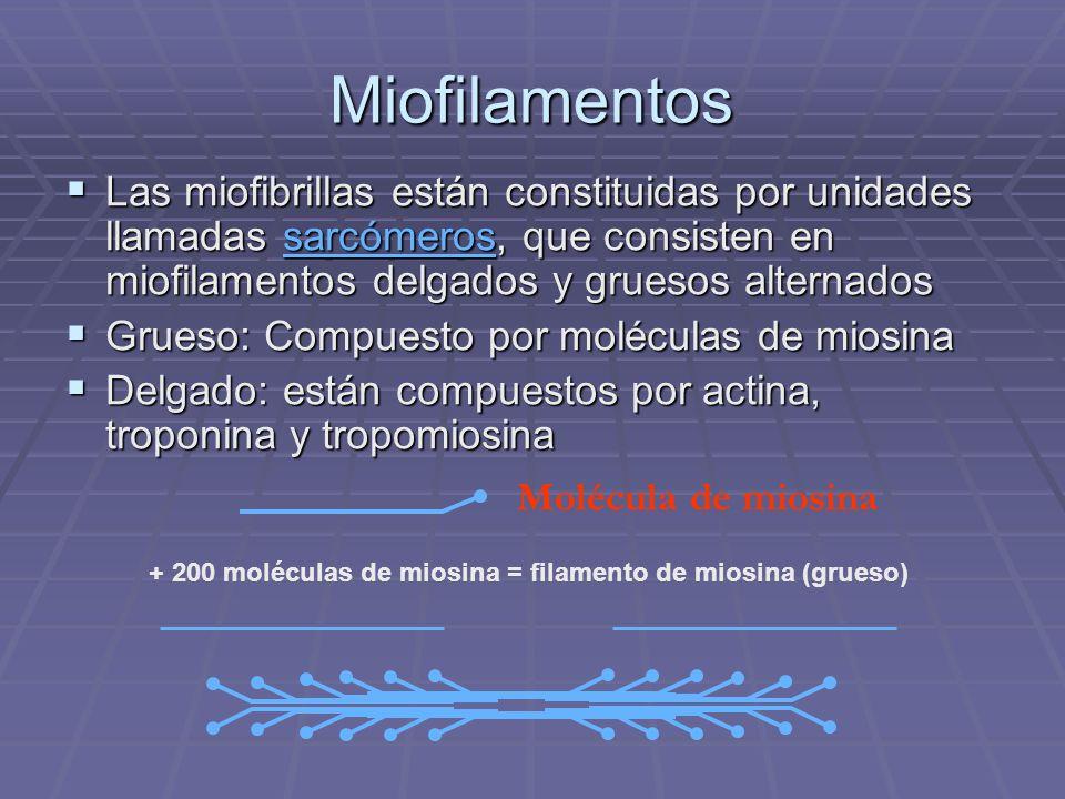 Miofilamentos Las miofibrillas están constituidas por unidades llamadas sarcómeros, que consisten en miofilamentos delgados y gruesos alternados.