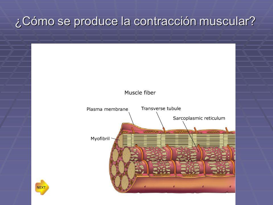 ¿Cómo se produce la contracción muscular