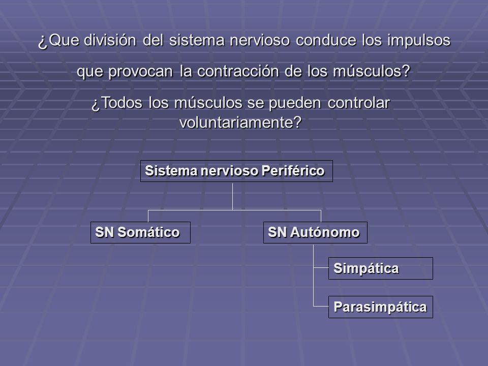 ¿Todos los músculos se pueden controlar voluntariamente