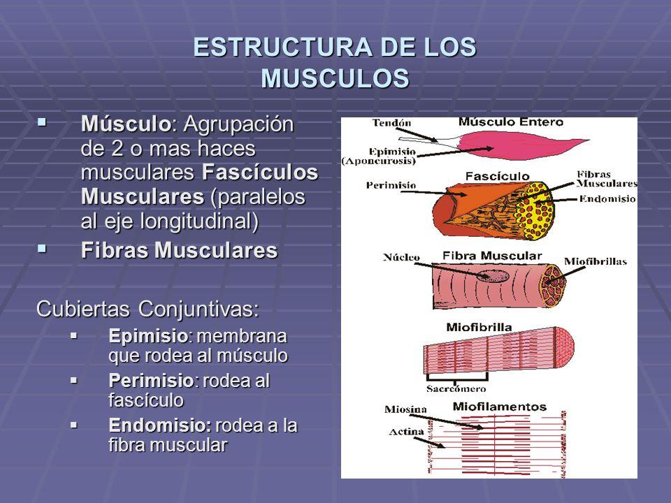 ESTRUCTURA DE LOS MUSCULOS