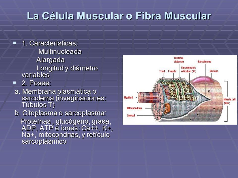 La Célula Muscular o Fibra Muscular