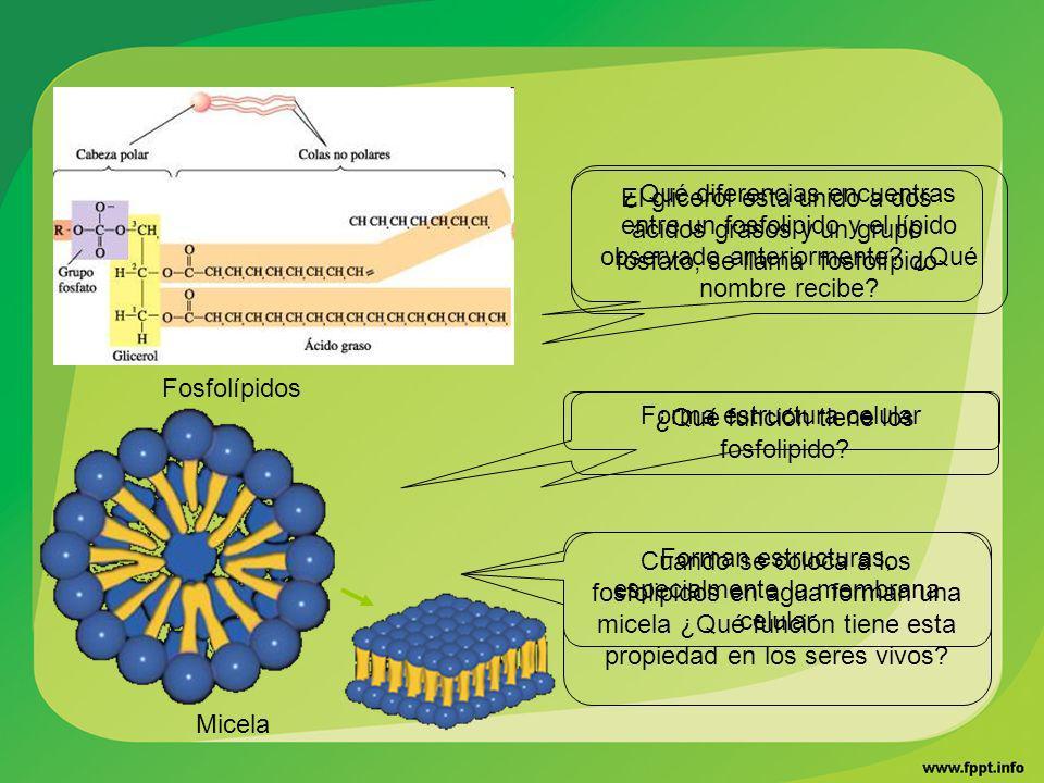 Forma estructura celular ¿Qué función tiene los fosfolipido