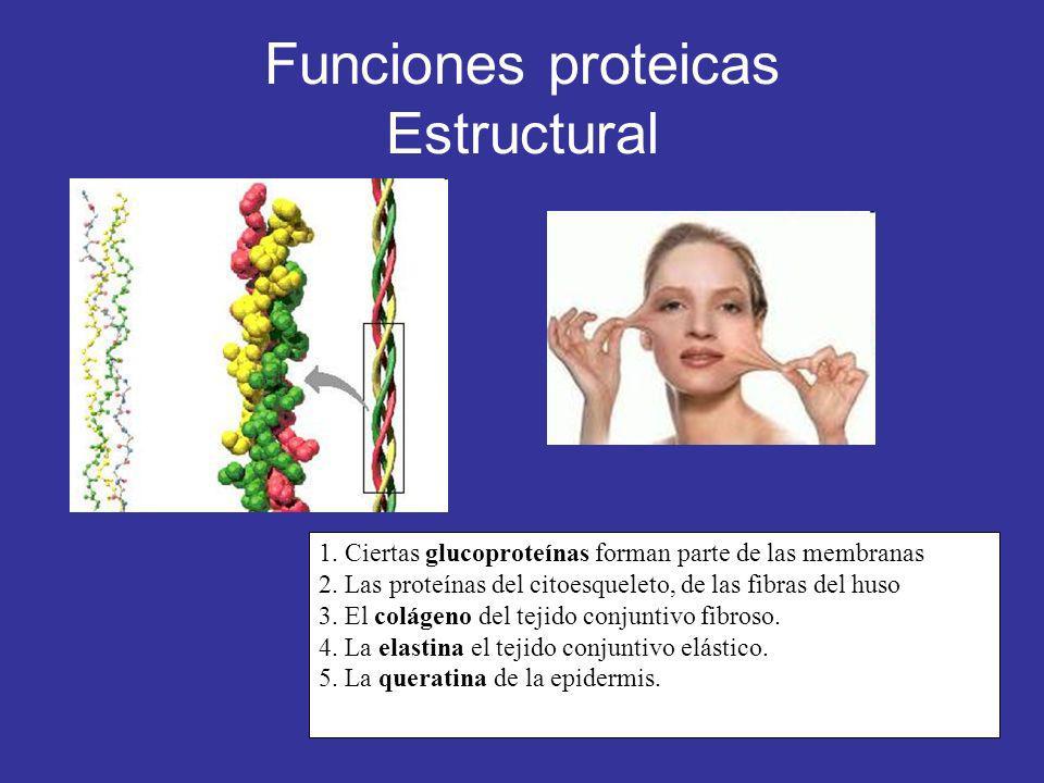Funciones proteicas Estructural