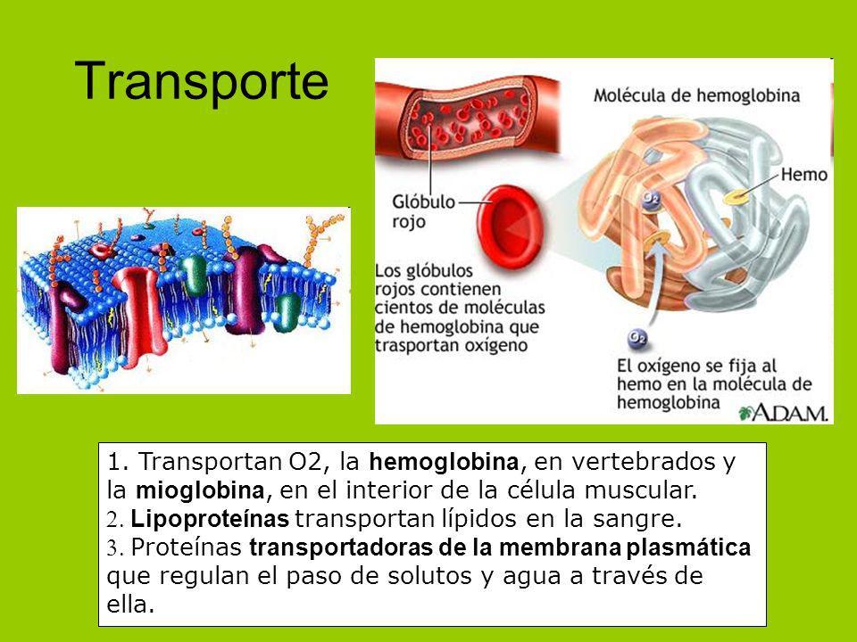Transporte1. Transportan O2, la hemoglobina, en vertebrados y la mioglobina, en el interior de la célula muscular.