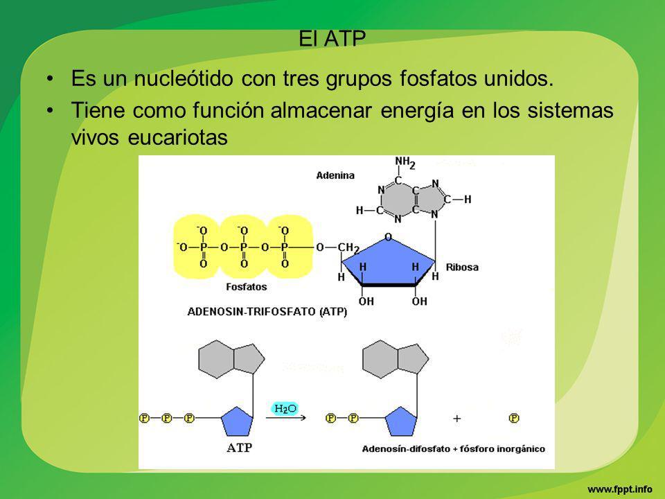 El ATP Es un nucleótido con tres grupos fosfatos unidos.