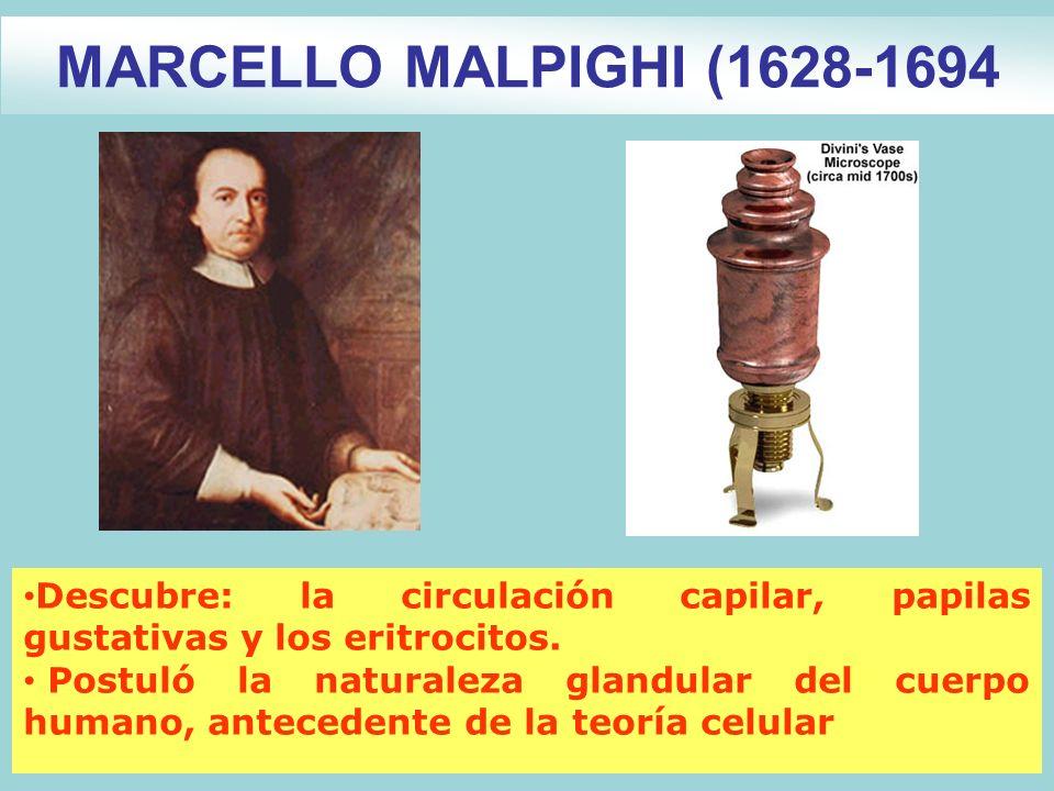 MARCELLO MALPIGHI (1628-1694 Descubre: la circulación capilar, papilas gustativas y los eritrocitos.