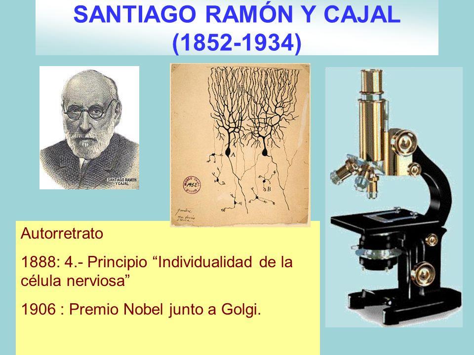 SANTIAGO RAMÓN Y CAJAL (1852-1934)