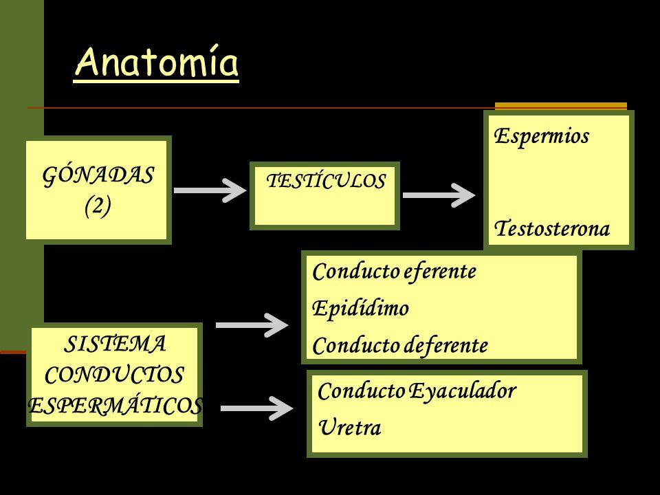 Anatomía Espermios GÓNADAS (2) Testosterona Conducto eferente
