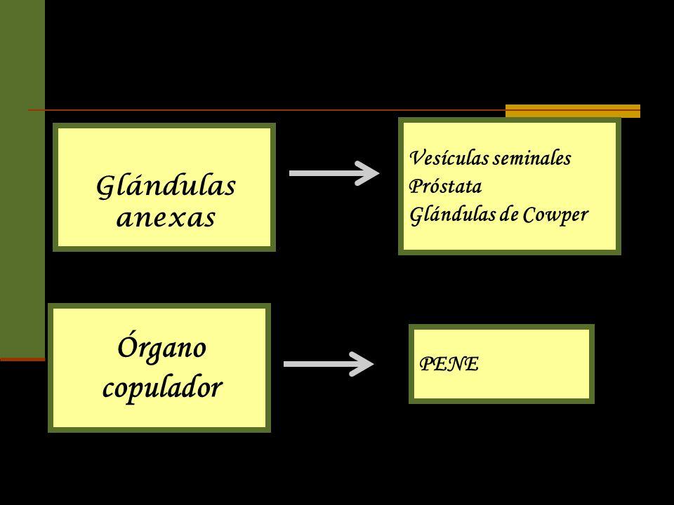 Órgano copulador Glándulas anexas
