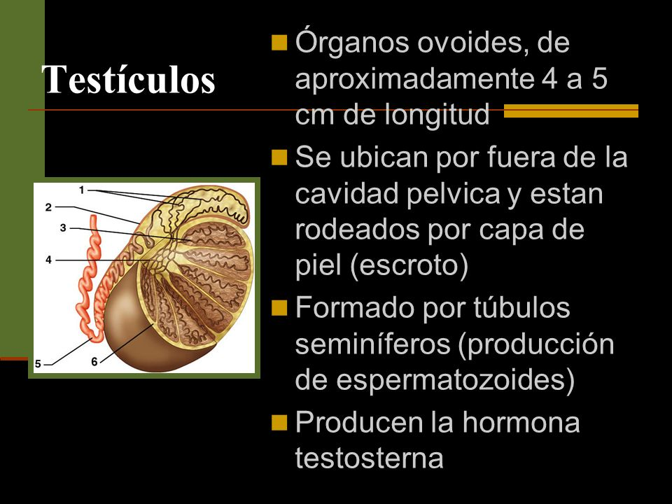 Testículos Órganos ovoides, de aproximadamente 4 a 5 cm de longitud