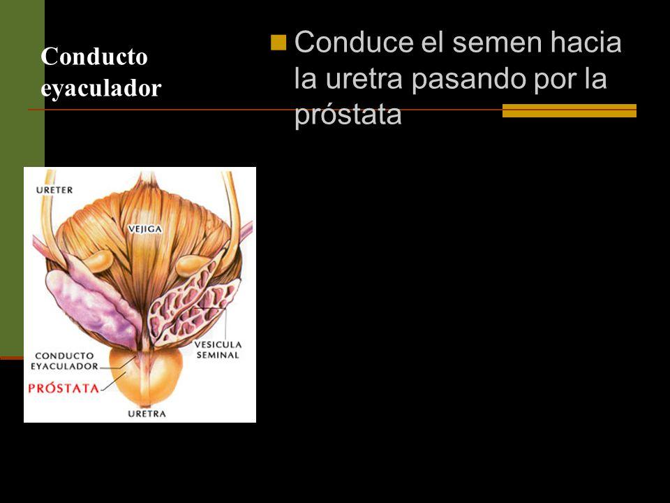 Conduce el semen hacia la uretra pasando por la próstata