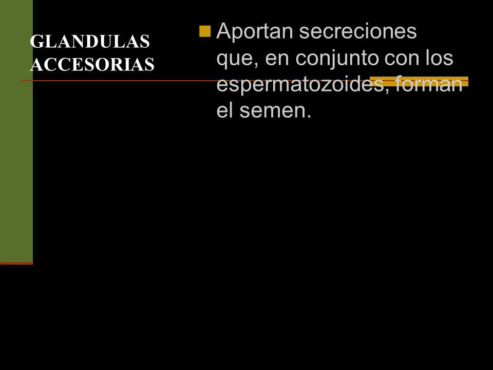 GLANDULAS ACCESORIAS Aportan secreciones que, en conjunto con los espermatozoides, forman el semen.