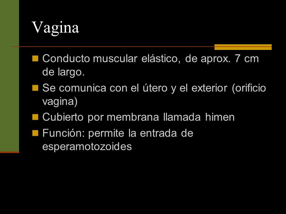 Vagina Conducto muscular elástico, de aprox. 7 cm de largo.