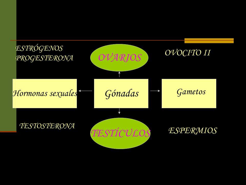 OVARIOS Gónadas TESTÍCULOS OVOCITO II Hormonas sexuales Gametos