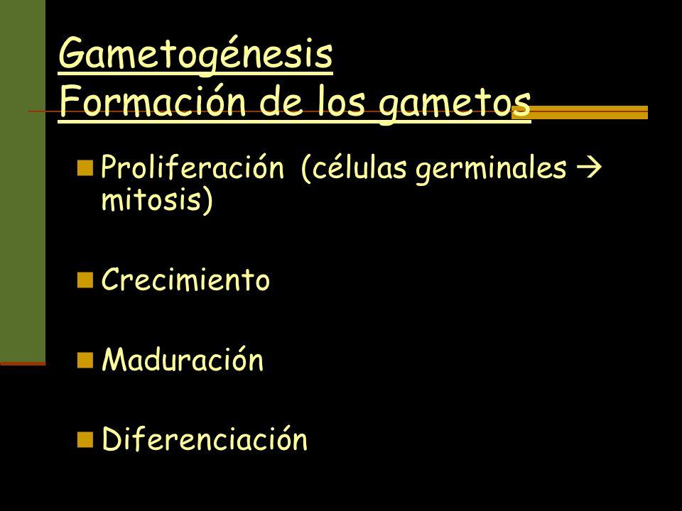 Gametogénesis Formación de los gametos