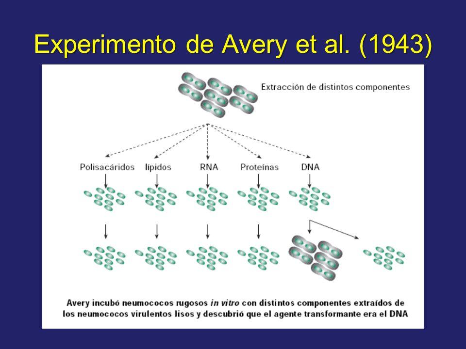 Experimento de Avery et al. (1943)