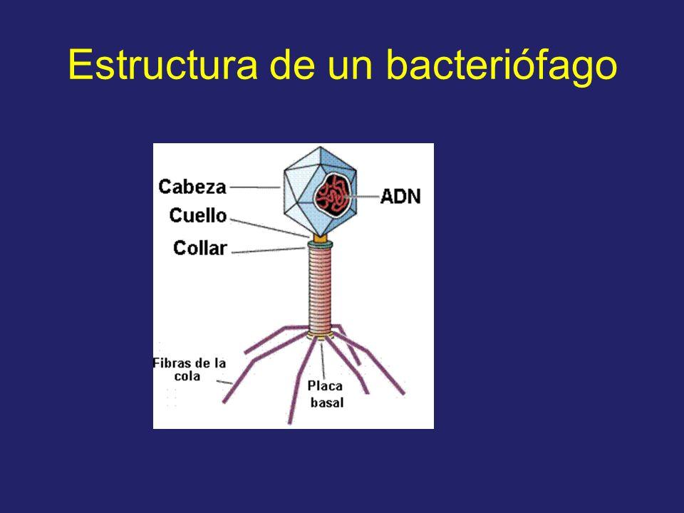 Estructura de un bacteriófago