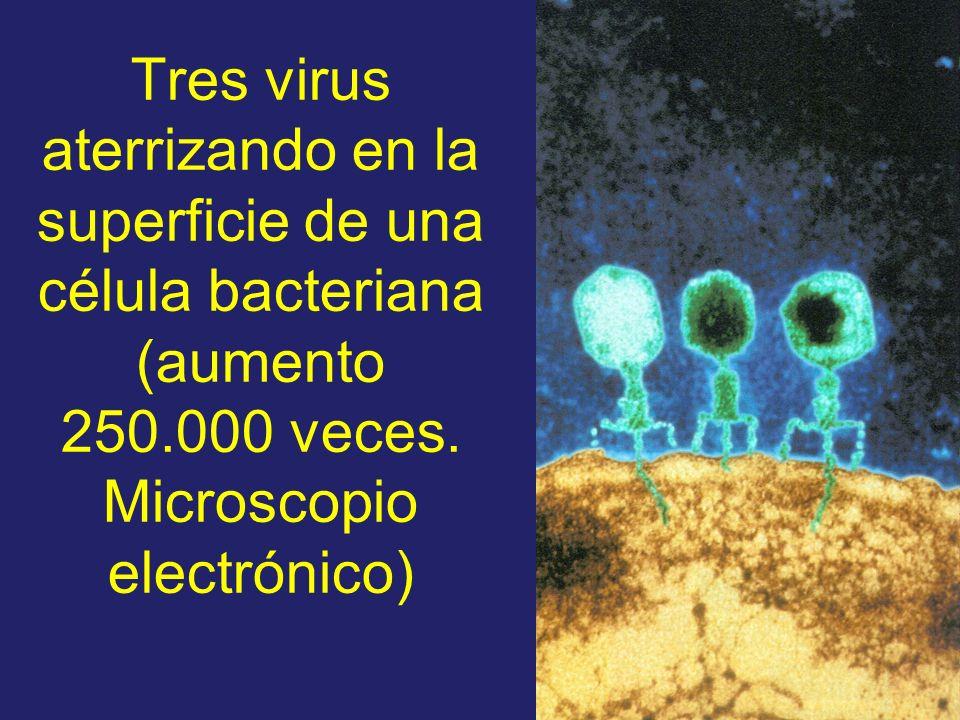 Tres virus aterrizando en la superficie de una célula bacteriana (aumento 250.000 veces.
