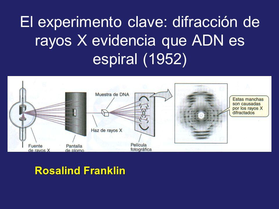 El experimento clave: difracción de rayos X evidencia que ADN es espiral (1952)
