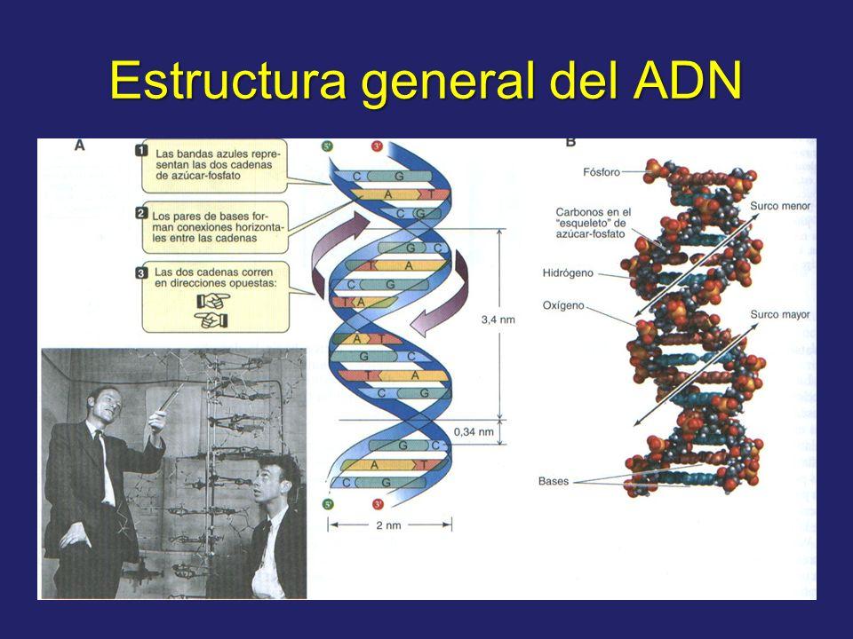 Estructura general del ADN