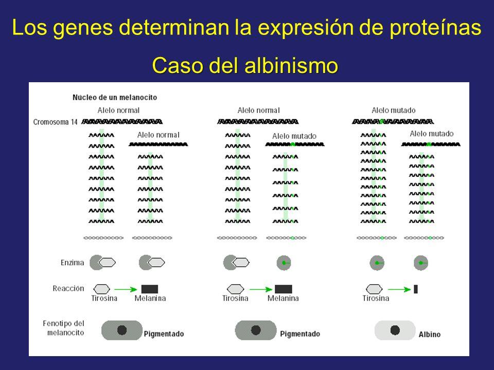 Los genes determinan la expresión de proteínas