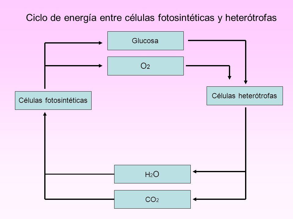 Ciclo de energía entre células fotosintéticas y heterótrofas