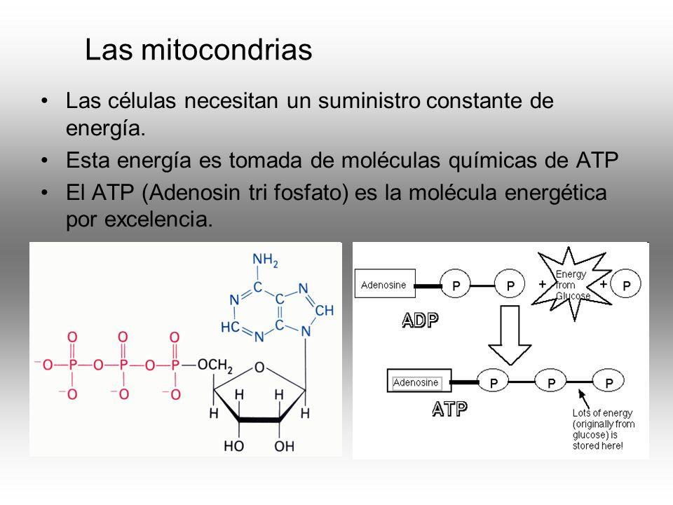 Las mitocondrias Las células necesitan un suministro constante de energía. Esta energía es tomada de moléculas químicas de ATP.