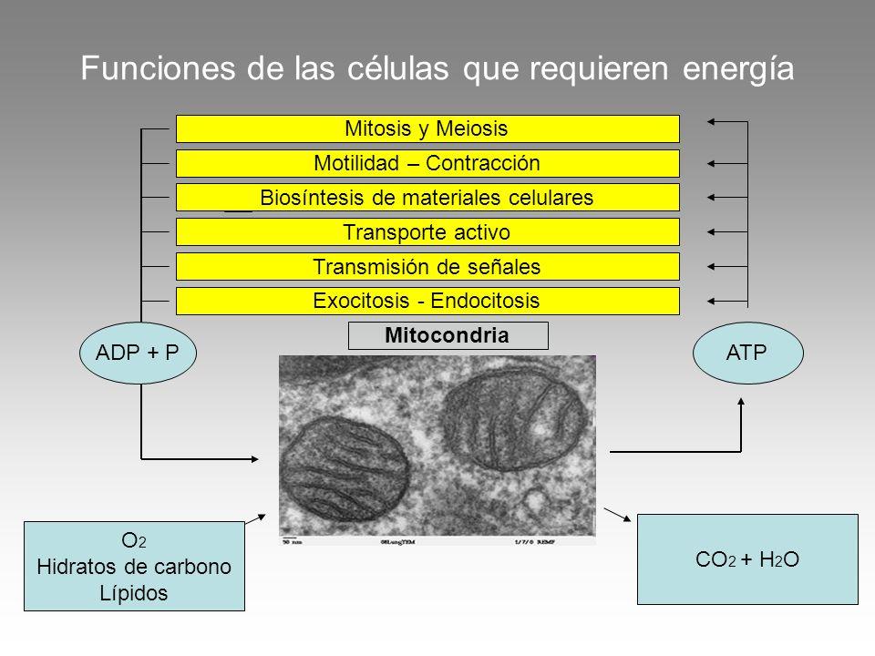 Funciones de las células que requieren energía