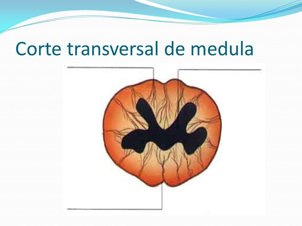 Corte transversal de medula