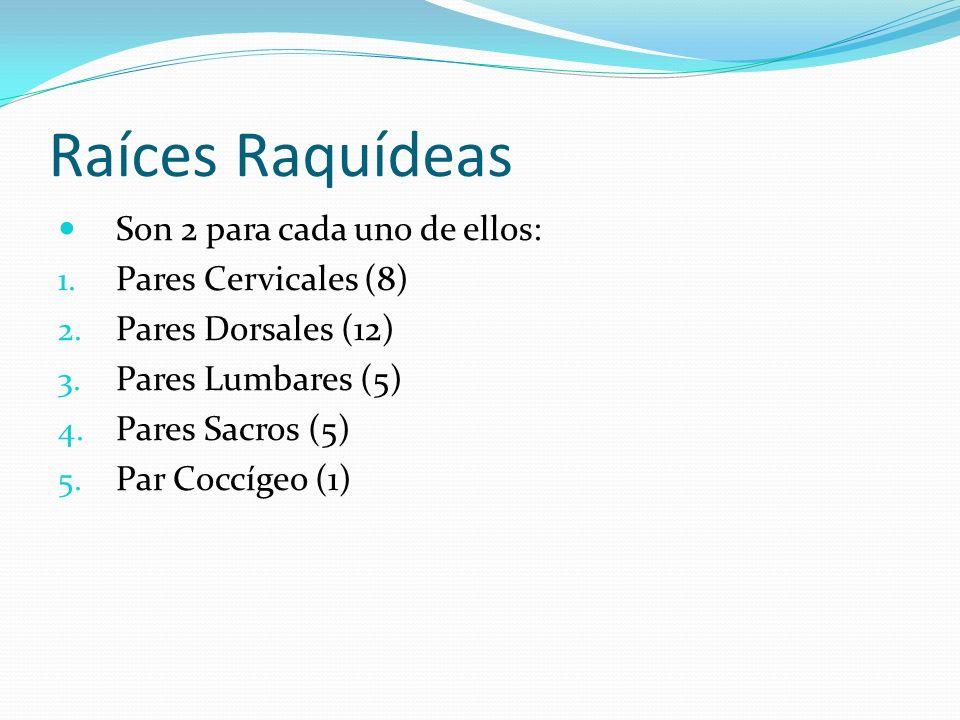 Raíces Raquídeas Son 2 para cada uno de ellos: Pares Cervicales (8)