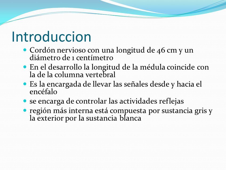 IntroduccionCordón nervioso con una longitud de 46 cm y un diámetro de 1 centímetro.