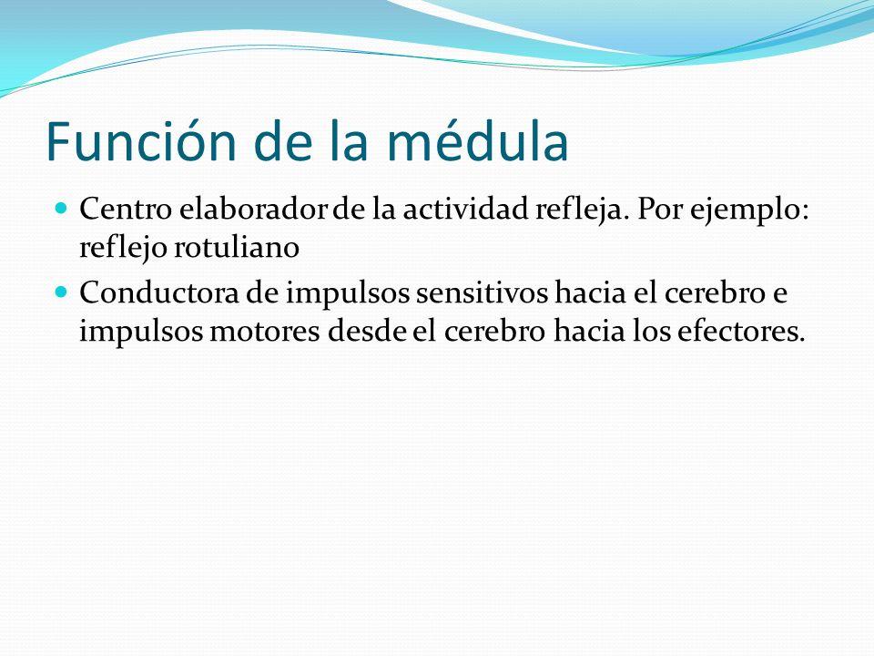 Función de la médula Centro elaborador de la actividad refleja. Por ejemplo: reflejo rotuliano.