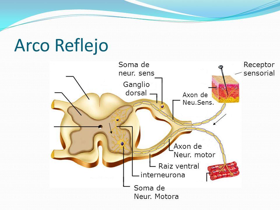 Arco Reflejo Soma de neur. sens Receptor sensorial Ganglio dorsal
