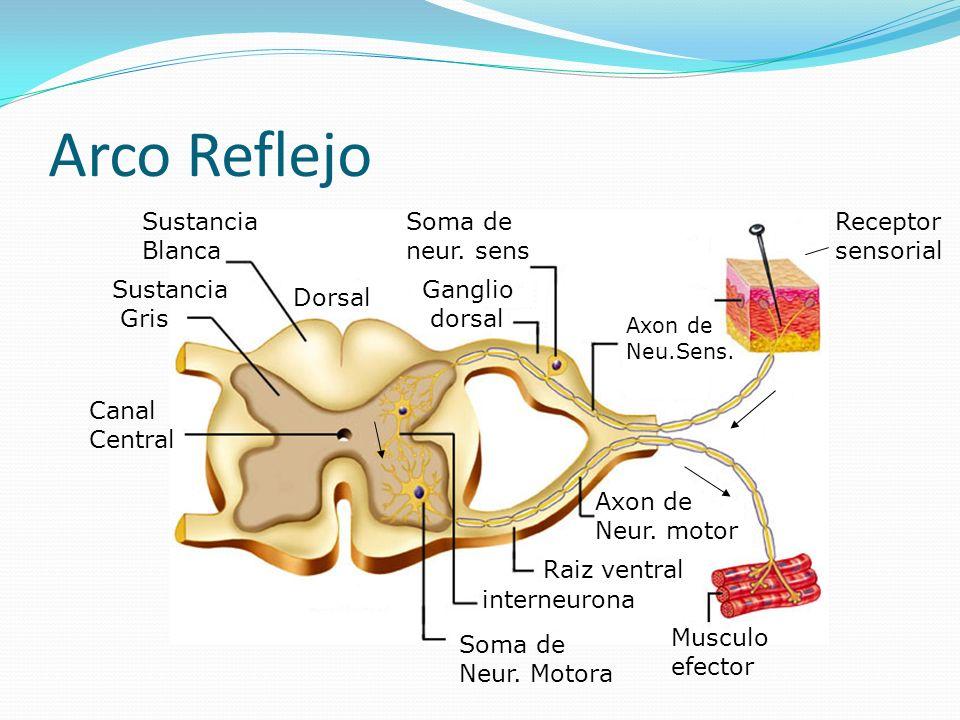 Arco Reflejo Sustancia Blanca Soma de neur. sens Receptor sensorial