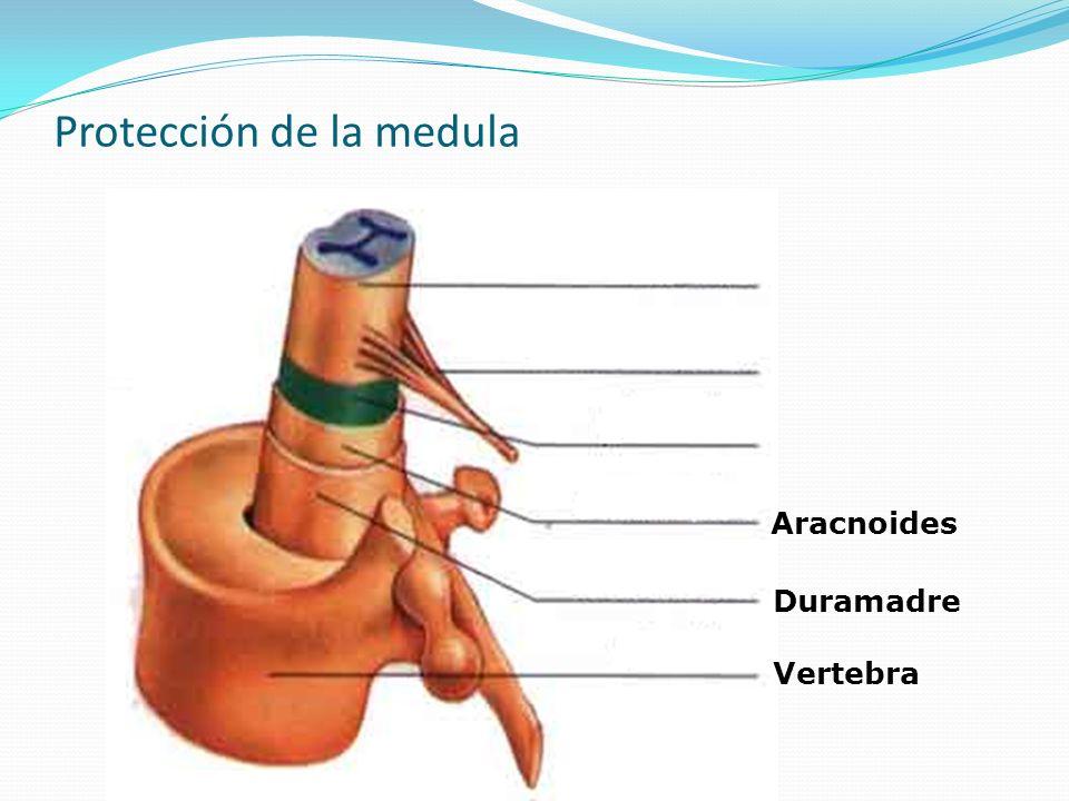 Protección de la medula
