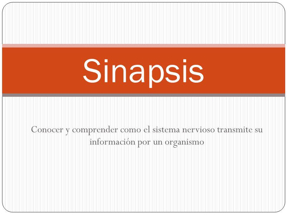 Sinapsis Conocer y comprender como el sistema nervioso transmite su información por un organismo