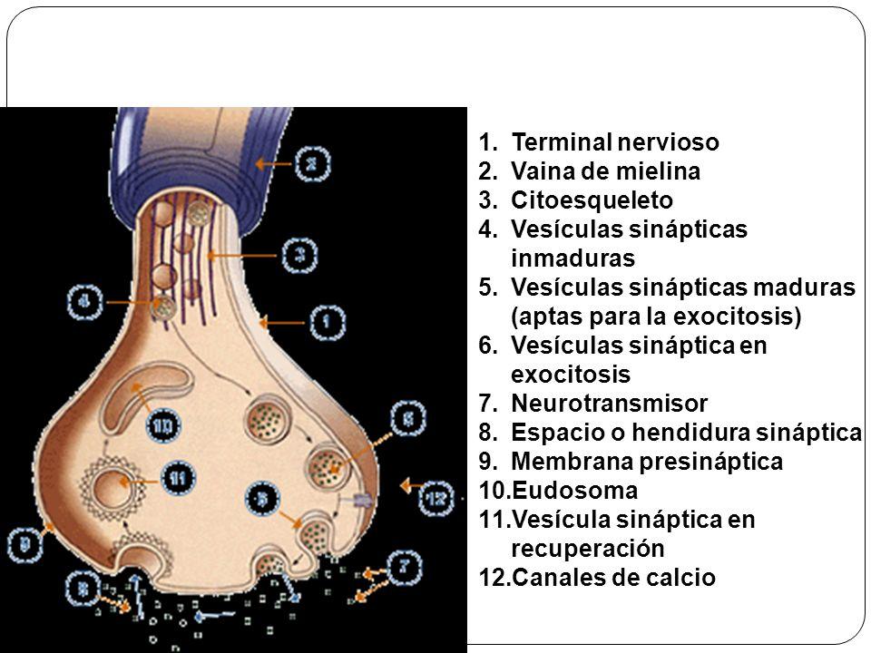 Organización del botón sináptico