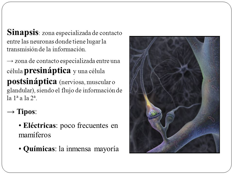 Sinapsis: zona especializada de contacto entre las neuronas donde tiene lugar la transmisión de la información.
