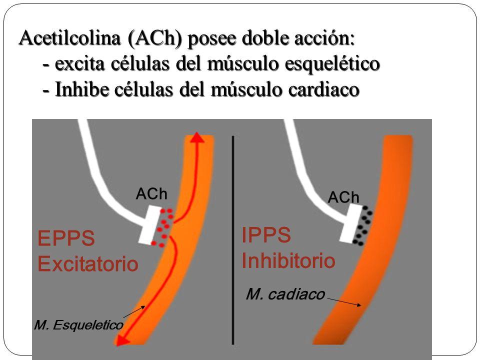 Acetilcolina (ACh) posee doble acción: