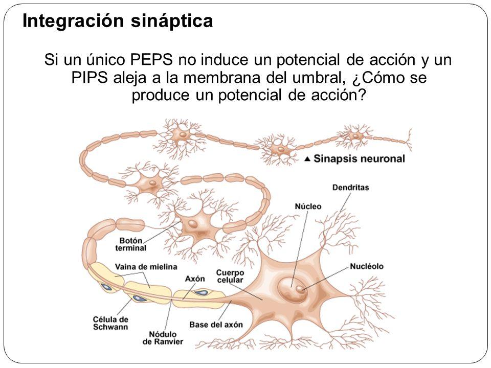 Integración sináptica