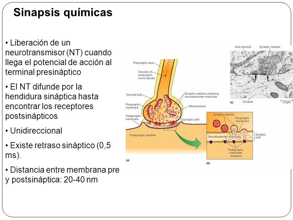 Sinapsis químicas Liberación de un neurotransmisor (NT) cuando llega el potencial de acción al terminal presináptico.